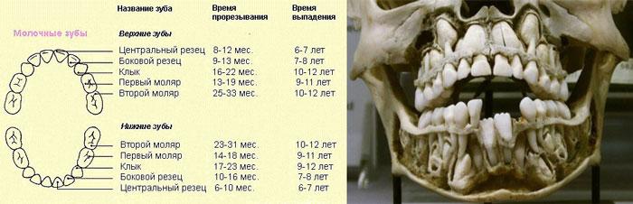 Этапы роста молочных зубов и их выпадение и замена